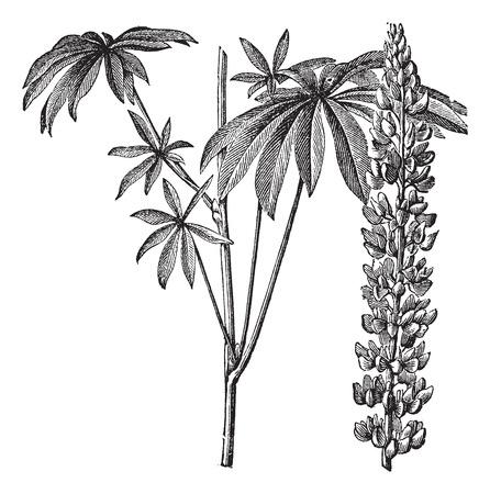 faboideae: Old illustrazione incisa di lupino foglia larga isolato su uno sfondo bianco.