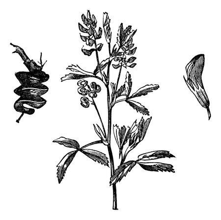 fabales: Old engraved illustration of Alfalfa isolated on a white background.