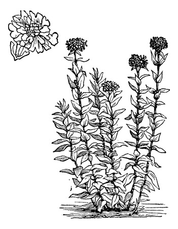 dusky: Jerusalem Cross or Lychnis chalcedonica or Dusky Salmon or Flower of Bristol or Burning Love or Maltese Cross or Nonesuch or Silene chalcedonica, vintage engraving Isolated on a white background. Illustration