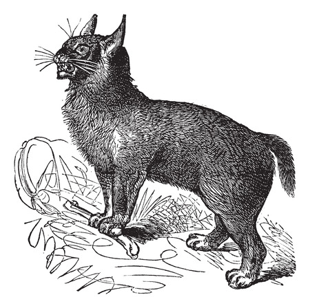 felidae: Old engraved illustration of Canada Lynx in the mountains