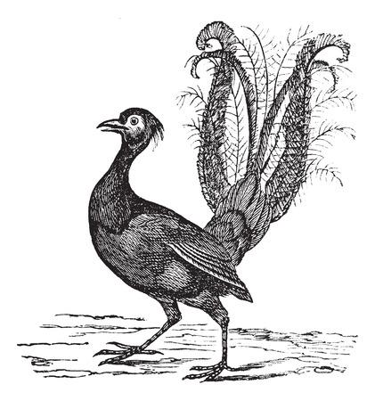 Old engraved illustration of Superb Lyrebird. Illustration