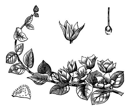 jenny: Old engraved illustration of Moneywort isolated on a white background.