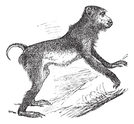 arboreal: Old engraved illustration of Pig-tailed macaque climbing on the tree.