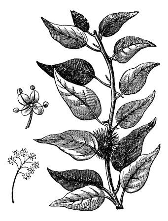 Old engraved illustration of Osage-orange isolated on a white background.