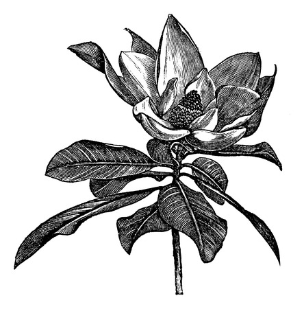 black and white flowers: Old engraved illustration of Southern magnolia flower isolated on a white background. Illustration