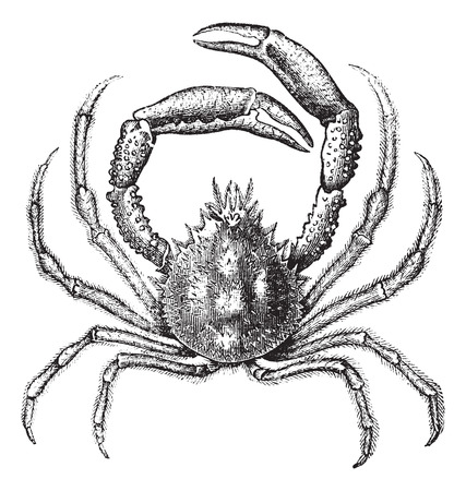 spiders: Old engraved illustration of European spider crab, isolated on a white background.