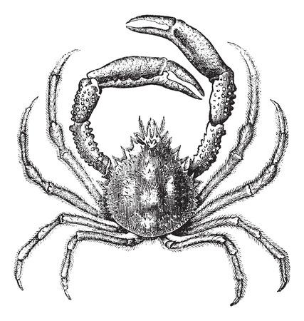 Oude gegraveerde illustratie van de Europese spinkrab, geïsoleerd op een witte achtergrond. Stock Illustratie