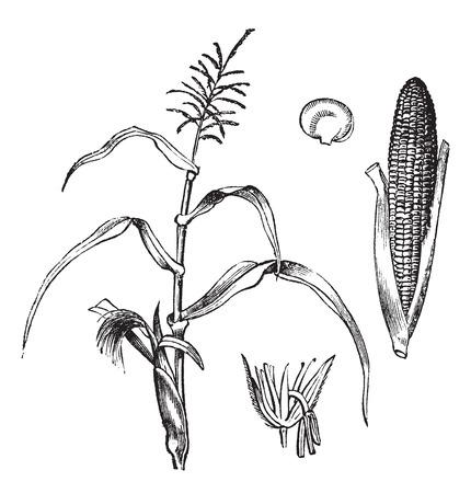 planta de maiz: Ilustración del Antiguo grabado de maíz con mazorcas aislado en un fondo blanco.