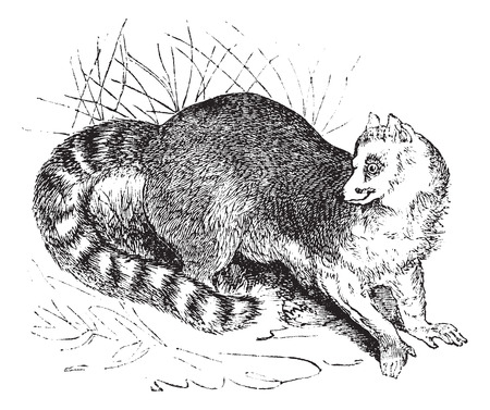 catlike: Old engraved illustration of Ring-tailed lemur in the meadow.