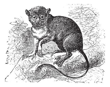 Old engraved illustration of Spectral tarsier on a branch. Ilustração