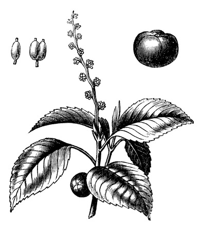 drupe: Old engraved illustration of Manchineel tree isolated on a white background. Illustration