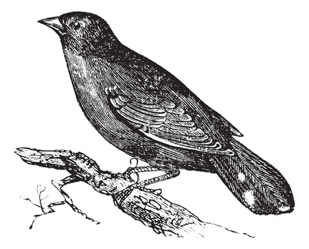perched: Old engraved illustration of Guianan Red-Cotinga waiting on a branch.