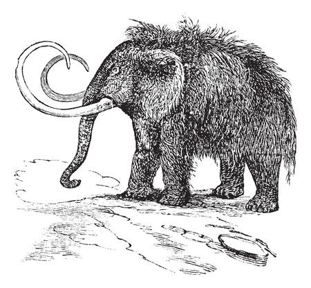 тундра: Старый выгравированы иллюстрация шерстистого мамонта. Иллюстрация