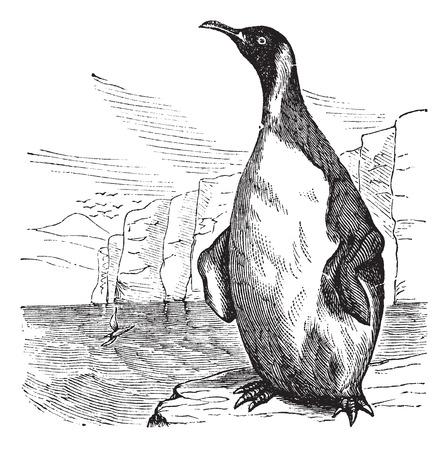 societal: Old engraved illustration of King Penguin. Illustration