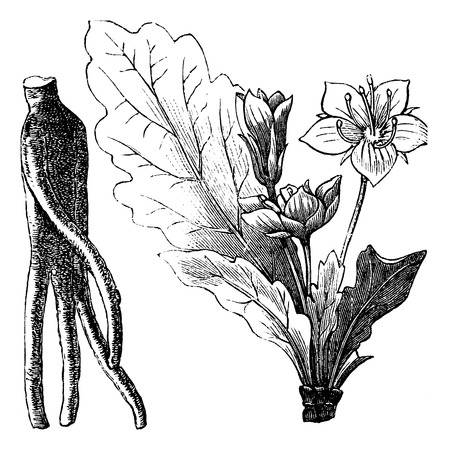 hermaphrodite: Old engraved illustration of Mandragora officinarum root and flower isolated on a white background.