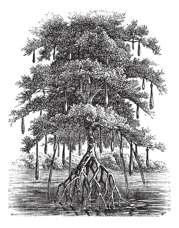 Old engraved illustration of Mangrove tree in the water.