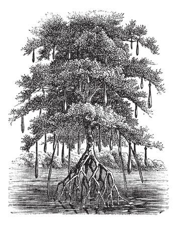Oude gegraveerde illustratie van Mangrove boom in het water. Vector Illustratie