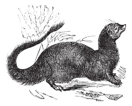 diurnal: Old engraved illustration of Egyptian Mongoose.