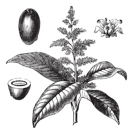 drupe: Old engraved illustration of Indian mango with flower isolated on a white background.