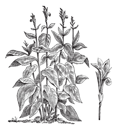 perennial: Old engraved illustration of Indian shot. Illustration