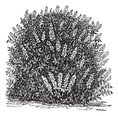 Old engraved illustration of Bottlebrush Buckeye.