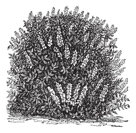 horticultural: Old engraved illustration of Bottlebrush Buckeye.