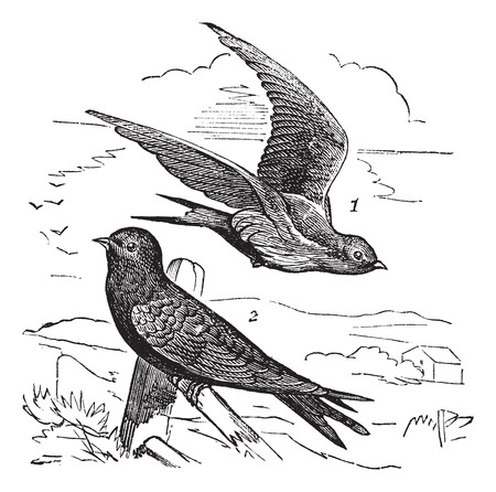 Old engraved illustration of Common Swift female (1) flying and male (2) waiting on a branch.