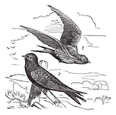 martinet: Old grav� illustration de Swift commune femelle (1) vol et m�le (2) en attente sur une branche.