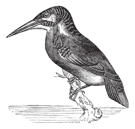 alcedinidae: Old engraved illustration of Common Kingfisher waiting on a branch. Illustration
