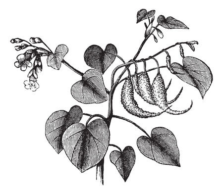 rams: Rams horn or Proboscidea louisianica or Martynia proboscidea or Devils claw or Devils horn or Unicorn plant, vintage engraving. Old engraved illustration of Rams horn isolated on a white background.