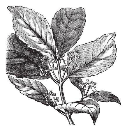 yerba mate: Ilustración del Antiguo grabado de yerba mate aislado en un fondo blanco.