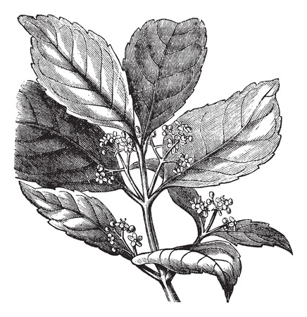 Old engraved illustration of Yerba mate isolated on a white background.