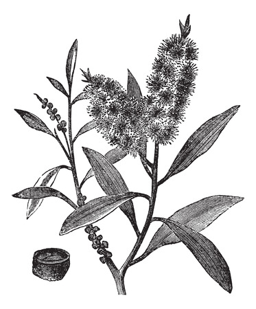 etchings: Tea Tree Oil has white wood (Melaleuca Leucadendron), vintage engraved illustration Illustration