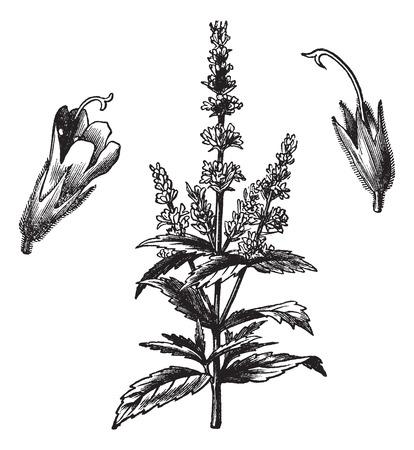 Common mint (Mentha Viridis), vintage engraved illustration