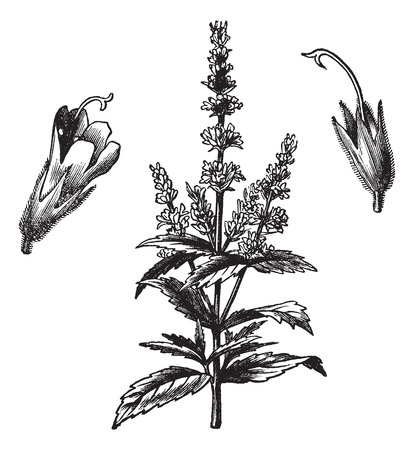 Common mint (Mentha Viridis), vintage engraved illustration