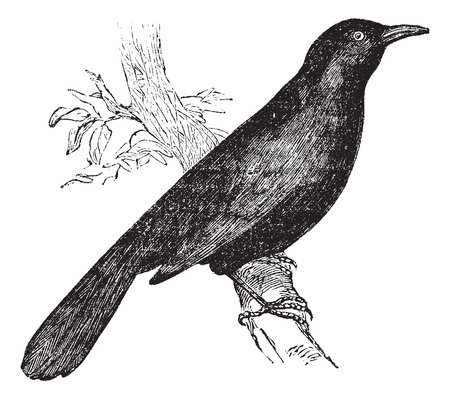 thrush: Common blackbird (Turdus merula) or Eurasian Blackbird perched on branch, vintage engraved illustration