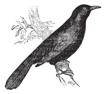 blackbird: Wspólne Blackbird (Turdus merula) lub Eurasian Blackbird siedzący na gałęzi, ilustracji rocznika wklęsłego