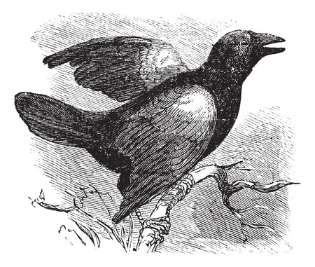 passerine: Red-winged Blackbird (Angelaius Phoeniceus), vintage engraved illustration