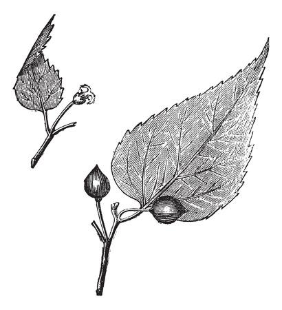 Virginia hackberry (Celtis occidentalis) or nettletree, vintage engraved illustration