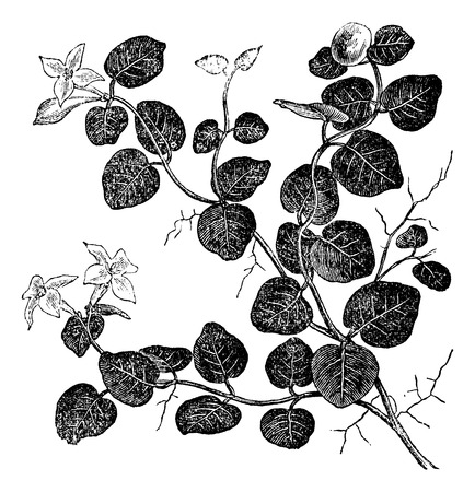 rampant: Mitchelle rampant (Mitchell repens), vintage engraved illustration