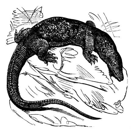 Nile monitor (Varanus niloticus) of Water Leguaan of River Leguaan, vintage gegraveerde illustratie