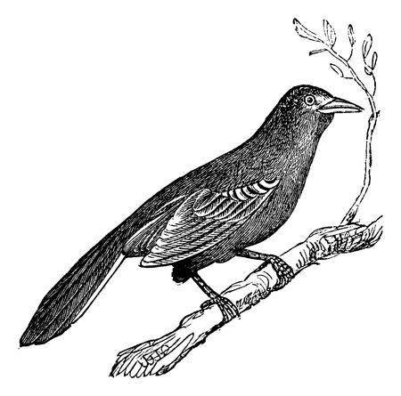 mockingbird: Mockingbird (Mimus polyglottus), vintage engraved illustration