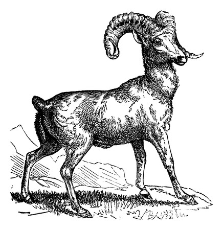 bighorn: Rocky Mountain sheep (Ovis montana) or Bighorn sheep, vintage engraved illustration
