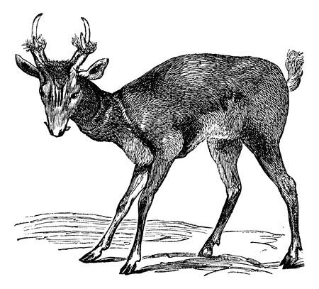 omnivorous: Common muntjac (cervulus vaginalis) or Barking deer or Common Muntjac or Red Muntjac or Indian Muntjac  vintage engraved illustration