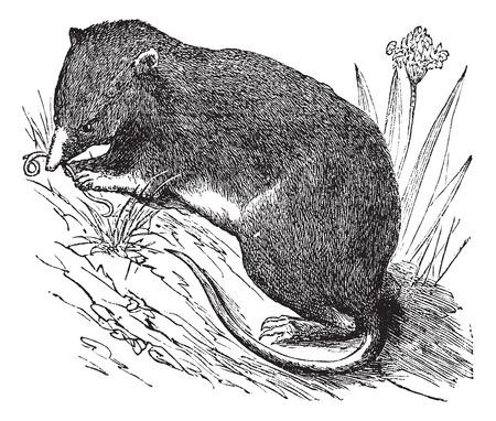 eurasian: Common Shrew or Eurasian Shrew or Sorex araneus, vintage engraved illustration Illustration