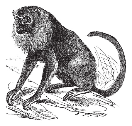 howler: Ursine Howler or Alouatta arctoidea, vintage engraved illustration