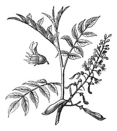 Peru Balsam or Myroxylon peruiferum, vintage engraved illustration 向量圖像