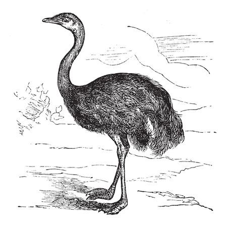 americana: Common Rhea or Rhea americana, vintage engraved illustration