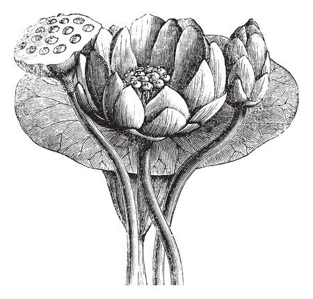 flor de loto: Lotus americano o Nelumbo lutea, cosecha ilustración grabada