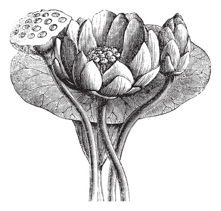 American Lotus or Nelumbo lutea, vintage engraved illustration